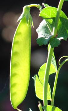 El cultivo de leguminosas, además de fijar el nitrógeno en el suelo, mejora su drenaje tras la descomposición