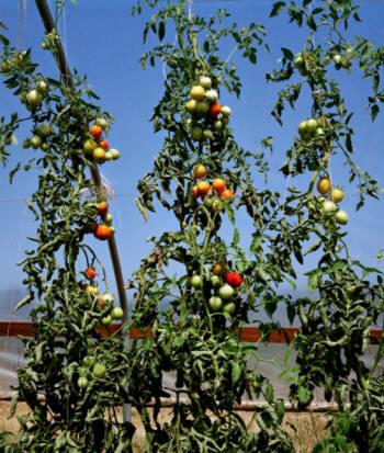 Agricultura horticultura tomate 2 parte - Tutores para tomates ...