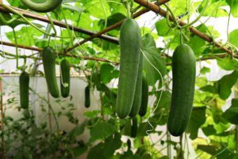 Agricultura Horticultura Pepino