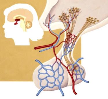 ANATOMÍA HUMANA - FUNCIONES RELACIÓN: El sistema endocrino - 1ª parte