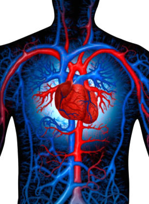 ANATOMÍA HUMANA - FUNCIONES NUTRICIÓN: El sistema circulatorio - 1ª ...