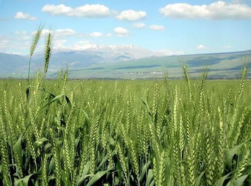 Las nuevas variedades de trigo obtenidas, más resistentes a las plagas, fundamentaron el éxito de la Revolución verde