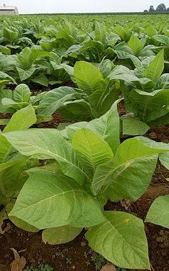 Blog Naturaleza educativa planta_tabaco HISTORIA DEL TABACO - EXPANSIÓN, ACEPTACIÓN Y CONTROVERSIAS