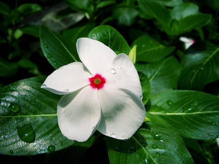 Vinca de Madagascar (Catharanthus roseus)