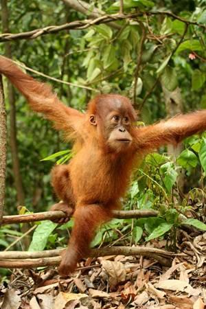 Orangután de sumatra en la reserva de Bukit Lawang