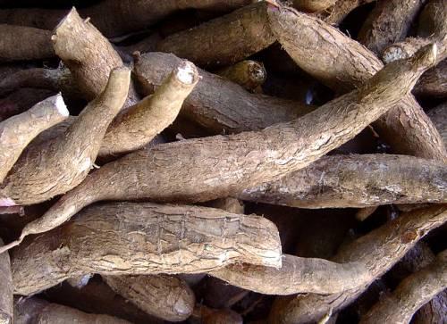Raíces tuberosas de mandioca