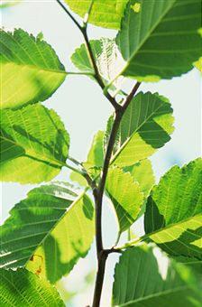 Aliso (Alnus glutinosa), como ejemplo de árbol de la familia  betuláceas