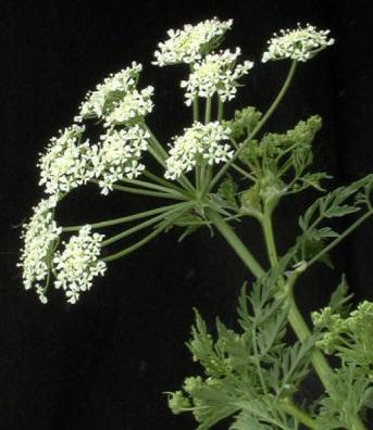 Cicuta mayor (Conium maculatum); posee alcaloides muy activos que  pueden causar la muerte
