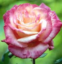 Rosa, perteneciente a la familia de las rosáceas