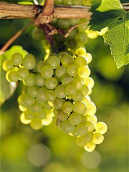 Uvas, fruto de la vid (Vitis vinífera), la especie más famosa de la  familia de las ramnáceas