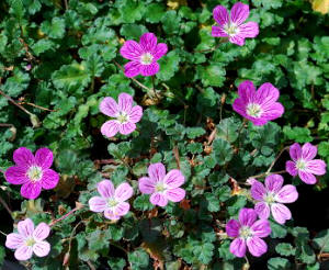 Alfilerillo (Erodium chamaedryoides)