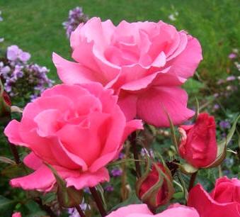 Jardiner a cultivos los rosales 4 parte for Jardineria rosales