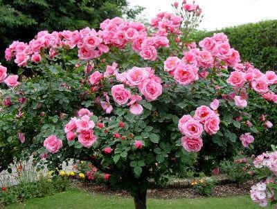 Jardiner a cultivos los rosales 3 parte for Jardineria rosales