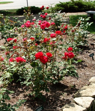Arbustivos o de tallo bajo for Jardin los rosales