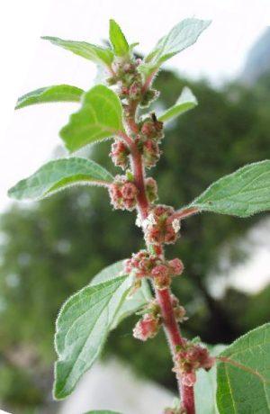 Plantas Medicinales Especies Y Propiedades Parietaria Parietaria