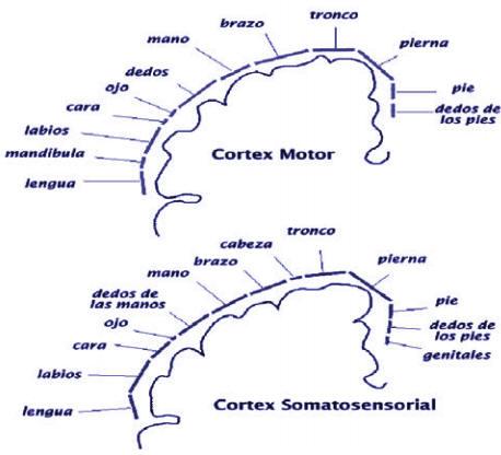 SALUD: Conocer el cerebro: La corteza cerebral - 2ª parte