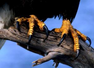 Las aves depredadoras, como las águilas, poseen un fuerte pico y potentes garras que les permiten desgarrar los tejidos de sus presas