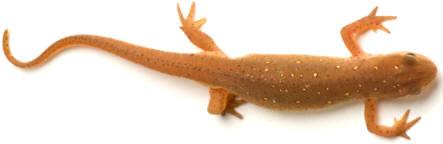 Los tritones, salamandras y gallipatos (Urodelos) se caracterizan, además de por su cuerpo alargado, por presentar una cola bien desarrollada