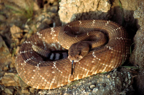 http://www.natureduca.com/images_zoo/zoo_serp_cascabel.jpg